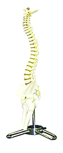 Walter Products B10206 Human Spinal Column Model, 50 cm