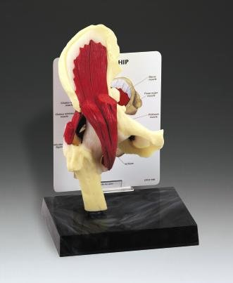 Muscled Hip Anatomical Model