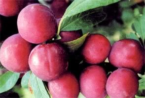SD0536 Cherry Plum Fruit Seeds, Fresh High Germinating Seeds, Cherry Plum Seeds, Non-Genetically Modified Seeds (20 Seeds) -
