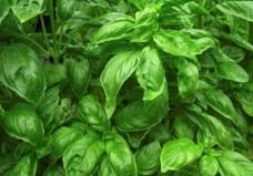 Sweet Basil Seeds - 3