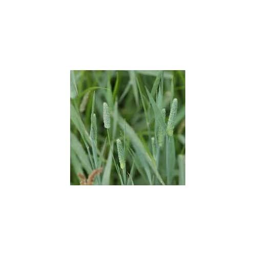 Nice Climax Timothy Seed - Native Cool Season Grass 5000 Seeds for cheap