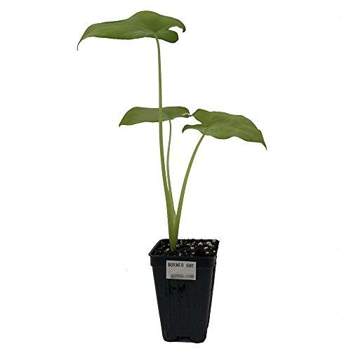 ELEPHANT EAR - Alocasia macrorrhiza Borneo Giant LIVE PLANT Large Tropical garden