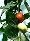Ziziphus Mauritiana Fruit Tree Seeds AMND-125