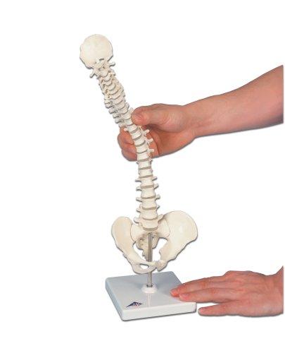 3B Scientific A18/21 Mini Human Spinal Column Model - Flexible, On Base, 17.3'' Height
