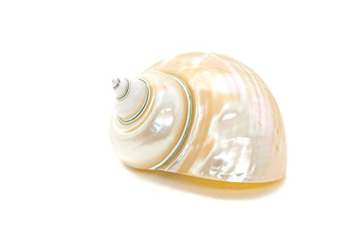 ng Hermit Crab Home Turbo Shell | White Pearl Jade Green Polished Turbo Shell | 1 Turbo Shell 3-3.5