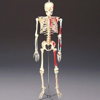 Life-Size Bucky Painted and Numbered Human Skeleton - Buy