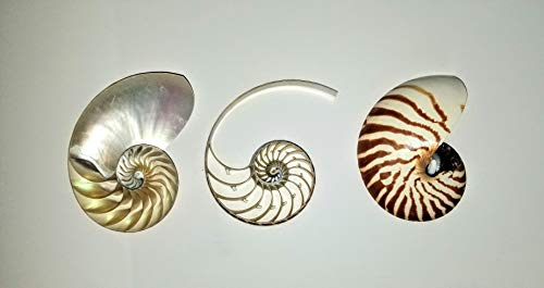 Nautilus Outdoor Shell - Triple Sliced Nautilus Shell 4