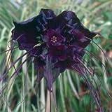 5 BAT FLOWER (Cats Whiskers / Devil Flower) Tacca Chantrieri Flower Seeds