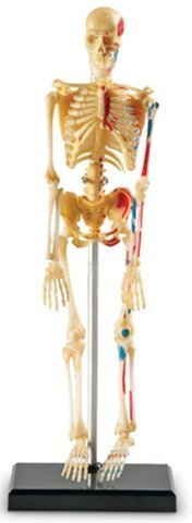 Game / Play Learning Resources Human Skeleton Anatomy Model. Science, Plastic, Educational, Bones, Body Toy / Child / Kid