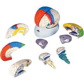 3B174; Anatomical Model - Deluxe Neuro-Anatomical Brain, (Deluxe Brain Model)