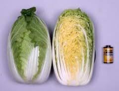 Honeyman Farms 4091 Chinese Cabbage Mini Kisaku 50 Hybrid Seed Packet