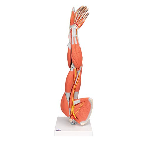 3B Scientific M10 6 Part Three-Fourths of Life Size Muscles Arm Model, 7.1