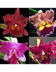 Kit com 4 mudas de Orquídea Cattleya Híbrida - Tamanho 1