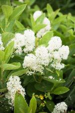 20 White New Jersey Tea Hummingbird Flower Ceanothus Americanus Shrub - Shrub Tea Jersey New