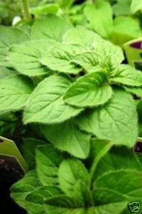 Oregano Italian Great Garden Herb By Seed Kingdom BULK 20,000 Seeds by seed kingdom
