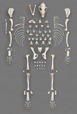Domestic Dog Disarticulated Medium Skeleton (Natural Bone Quality A)