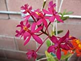 Epidendrum Orchids Fuchsia Red Hot Pink Rooted plant