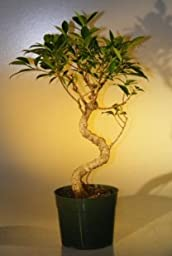 Bonsai Boy\'s Pre Bonsai Ficus Retusa Bonsai - Large Curved Trunk Style