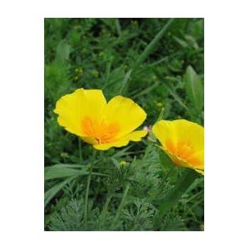 Amazon 1000 dwarf yellow california tufted poppy 1000 dwarf yellow california tufted poppy eschscholzia caespitosa flower seeds mightylinksfo