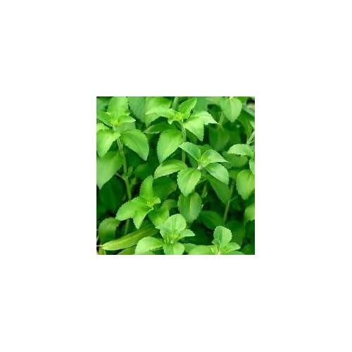 NON GMO E74 ez grow Shogoin turnip 1000 seeds