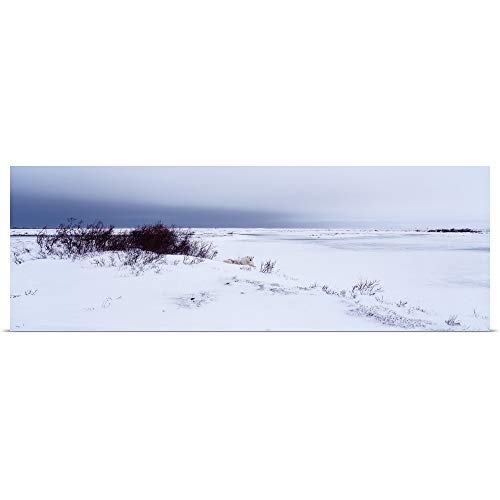 GREATBIGCANVAS Poster Print Entitled Canada, Manitoba, View of Resting Polar Bears in The Snow by ()