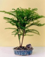 Bonsai Boy's Norfolk Island Pine-Medium Araucaria Heterophila by Bonsai Boy