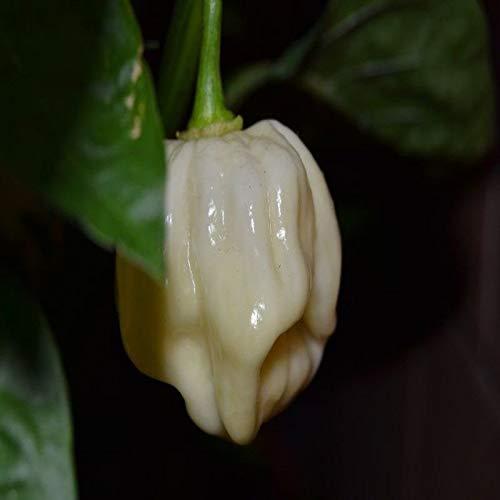 20 SEMI PEPERONCINO HABANERO WHITE GIANT