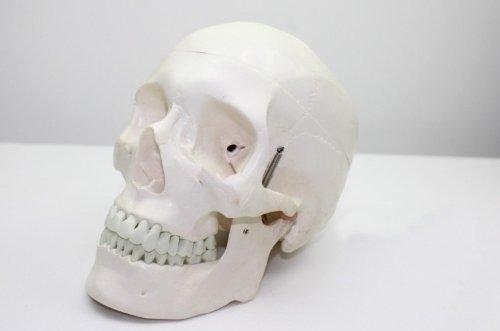 Echthaar 1: 1Größe Deluxe Skull Style D Gelenk Simulation Modell Medical Anatomie Typ: dr-xf-118