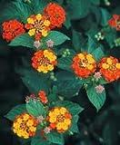 Lantana camara - Great Butterfly Attractant 3 seeds