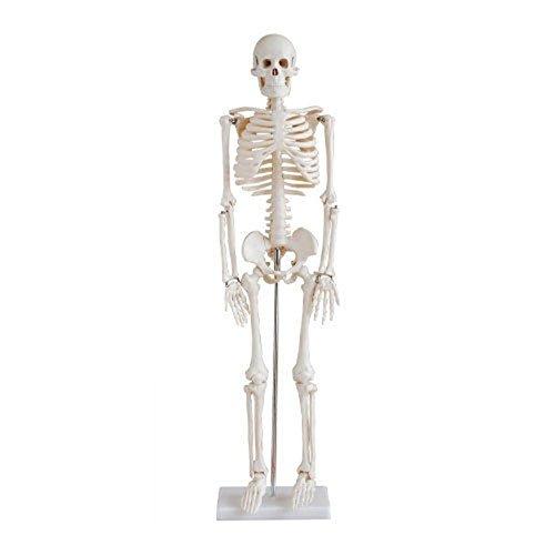 binglinghua 85,1 cm Menschliches Skelett Modell Medical Anatomische ...