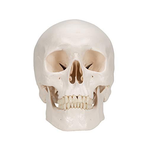 3B Scientific A20/9 Plastic Classic Human Skull Model with 8 Part Brain, 7.9