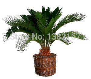 5 seeds / bag Sago Palm Tree Seeds Cycas Revoluta Free shipping Cycas revoluta seeds,tropical view plants SVI