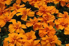 (marigold, TANGERINE gem, citrus SCENTED, orange flower, 150 seeds! GroCo)
