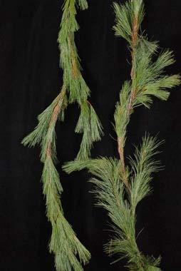Garland Fresh (Potomac Flowers Fresh Holiday White Pine Garland (25 Foot))