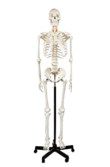Anatomical Skeleton Image
