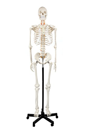 Axis Scientific Classic Human Skeleton with Study & Numbering Guide by Axis Scientific