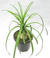 ROOKHRAJ PAUDHSHALA Nolina Live Plant, Beaucarnea Recurvata,...