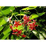 5 SEEDS Quispualis Indica Perenial Climbing Flower Combretaceae HEIRLOOM