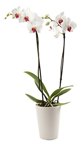 Color Orchids 1101D2WRL Live Blooming Double Stem Phalaenopsis Orchid Plant in Ceramic Pot, 20