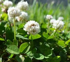 White Clover Seeds, Nitro-Coated and Inoculated, 1 Pound by SEEDS2GO
