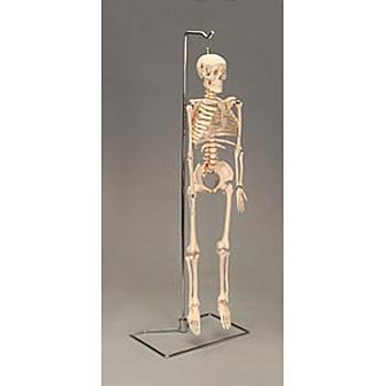 Human Desktop Mini Skeleton by Carolina Biological Supply Company (Image #2)