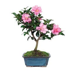 Bonsai Tree Camellia Hot Flash Bonsai Tree (Outdoor) from BonsaiOutlet by BonsaiOutlet