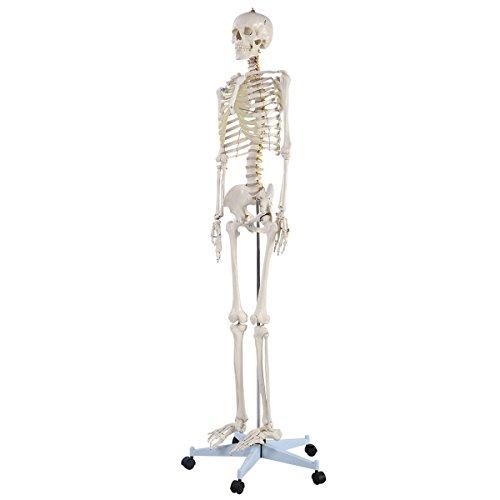 New Life Size Human Anatomical Anatomy Skeleton Medical Model + Stand -