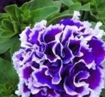 Petunia - Pirouette Double Purple - 20 Seeds ()