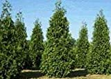 "The ""Green Giant"" Thuja is a large fast growing evergreen that has been known to grow up to 3 feet a year. Its natural pyramid form makes an exceptional landscape tree. They can used for a screen, hedge, windbreak or a single specimen. Green ..."