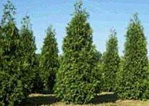 10 Thuja Green Giant Arborvitae 8-12'' tall trees