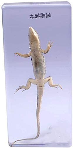 in Clear Lucite Block Real Lizard Specimens Growth History Specimen Middle School Biology School Teaching Aids Educational Instrument 6.4 1.8 14cm 0408