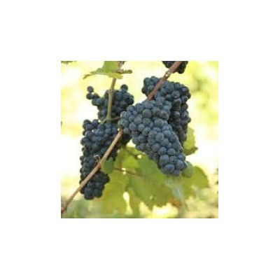 Grape Vines Classic Wine Pinot Noir red Burgundy – 1-Year-Old bareroot Grapevine (2) : Garden & Outdoor