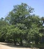 White Alder Tree Seeds
