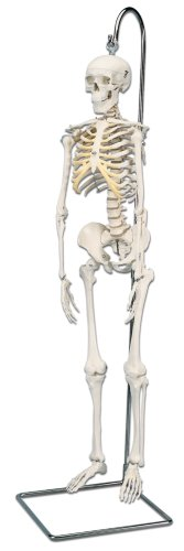 3B Scientific Mini Skeleton, Hanging - 3b Skeleton Scientific Arm